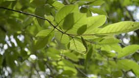 Green leaves of a tree blowing by the wind. Green leaves of a tree blowing by the wind in the summer time stock footage