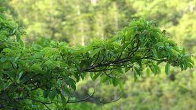 Green leaves on a tree branch. A beauty shot of a tree branch with lots of green leaves growing on it. A green scenery is seen in the background stock video