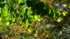Green leaves on tree branch on blurred background. Natural background with green leaves on a tree branch stock video