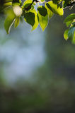 Green leaves tree branch in bright backlighting Royalty Free Stock Photo