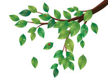 Green Leaves Tree Branch Royalty Free Stock Photo