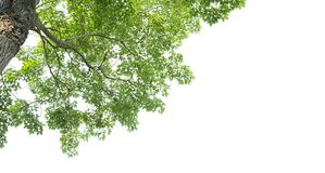 Green leaves and tree branch isolated on a white background.  royalty free stock photo