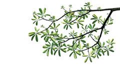 Green leaves and tree branch on white background Stock Image