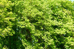 Green leaves on tree branches closeup as background, beautiful spring forest  landscape at bright day Royalty Free Stock Photo