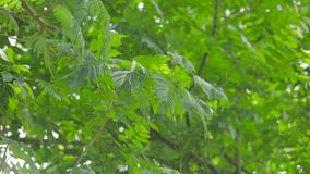 Green leaves on the tree branches. Video footage of green leaves on the tree branches at the forest stock footage
