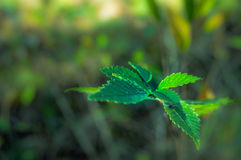 Green leaves of a tree close up. Royalty Free Stock Image