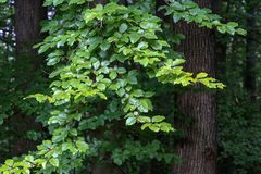 The green leaves of a tree in the forest. Summer. The green leaves of a tree in the forest stock photography