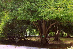 Green leaves tree in garden. Tropical park garden Stock Image
