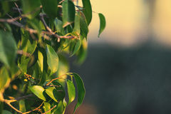 Green leaves tree lemon Royalty Free Stock Photo