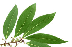 Green leaves of tree mandarin on isolated white Royalty Free Stock Photo