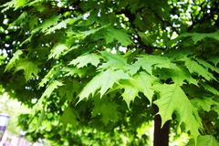 Green leaves on tree. It`s spring, green leaves on tree now Royalty Free Stock Images