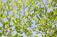 Green leaves tree with sky background Royalty Free Stock Photo