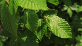 Green leaves on a tree in spring. Green leaves and sun in spring stock video
