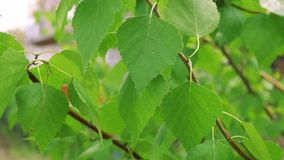 Green leaves on a tree in spring. Green leaves in the wind. Spring leaves bloomed stock footage