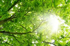 Green Leaves Tree in the Sun background stock photo