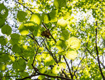 Green leaves of the tree in sunshine Royalty Free Stock Photography