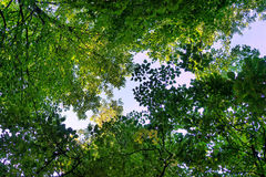Green leaves of the trees against the sky in a forest in spring Royalty Free Stock Image