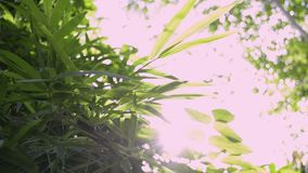 Green leaves of trees against sun rays. Green leaves of trees against sun rays, Sun shining through green leaves in the jungle stock video footage