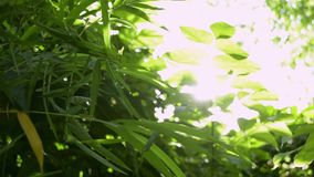 Green leaves of trees against sun rays. Green leaves of trees against sun rays, Sun shining through green leaves in the jungle stock footage