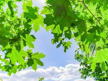 Green leaves on the trees. And blue sky day background Stock Photo