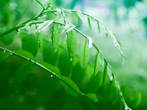 Green leaves on the trees. After the rain with drops of water Stock Image