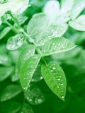Green leaves on the trees. After the rain with drops of water Royalty Free Stock Image