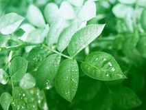 Leaves on the trees after the rain. Green leaves on the trees after the rain with drops of water Stock Photos