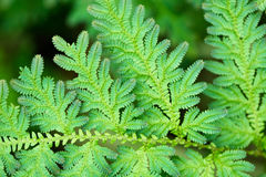 Green leaves of tropical fern close-up Stock Image