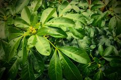 Green leaves. Green tropical leaves, foliage of Choisya Ternata, Mexican orange blossom plant with water droplets Royalty Free Stock Photo