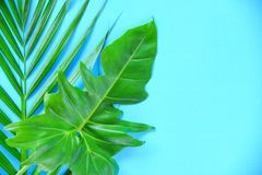 Green leaves tropical plant jungle with palm Philodendron leaf on blue background. Green leaves tropical plant jungle with palm and Philodendron leaf on blue stock image