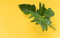 Green leaves tropical plant jungle with Philodendron leaf yellow background. Green leaves tropical plant jungle with Philodendron leaf on yellow background stock photo