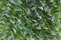 Green leaves of tropical tree Royalty Free Stock Photo