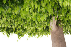Green leaves and trunk of ficus tree Royalty Free Stock Image