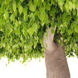 Green leaves and trunk of ficus tree Royalty Free Stock Photography