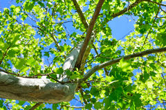 Green leaves and trunk under a blue sky Royalty Free Stock Images