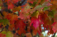 Green Leaves Turning Red Royalty Free Stock Photo