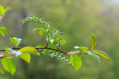Green leaves. Twig of cherry-bird tree with young flowers stock photo