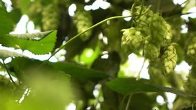 Hop cones in the hop-garden swaying in the wind . Slow motion. 1080p full HD video. Green leaves, twigs and hop cones swing in the wind on a sunny day in the stock footage