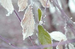 Green leaves under snow royalty free stock photography