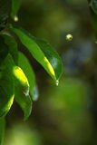 Green leaves under the summer rain Royalty Free Stock Photography