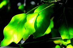 Green leaves under the sun. Green leaves illuminated by the sun in hot summer Royalty Free Stock Photos
