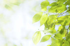 Green leaves under sunlight Royalty Free Stock Image