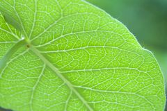 Green leaves, veins, leaves and insects royalty free stock photo