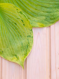 Green leaves with veins on the wooden planks Royalty Free Stock Photo