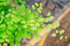 Green leaves (Venus hair fern) Royalty Free Stock Photography