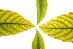 Green leaves in vibrant green, medlar, ceiba, whit. E studio background stock image