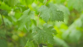 The green leaves of the vine are covered with raindrops and stagger from the wind. The green leaves of the grapes are covered with raindrops and stagger from the stock video footage