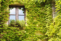 Green leaves vine plant on a wood window Royalty Free Stock Photo
