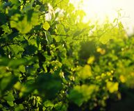 Green leaves in vineyard Stock Images