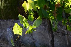 Green leaves of vineyard. Royalty Free Stock Image